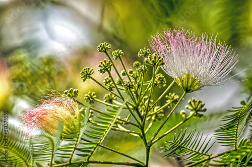Close Up Of An Albizia Julibrissin Or Persian Silk Tree With Two Of