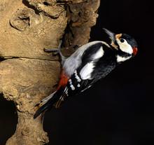 Specht; Buntspecht; Dendrocopos Major; Great Spottet Woodpecker; Woodpecker; Great Woodpecker;j