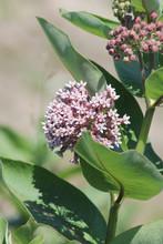 Flowering Milkweed Plant. Milk...