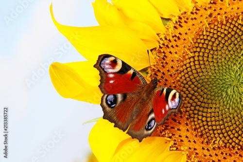 Plakat Piękny słonecznik z motylem