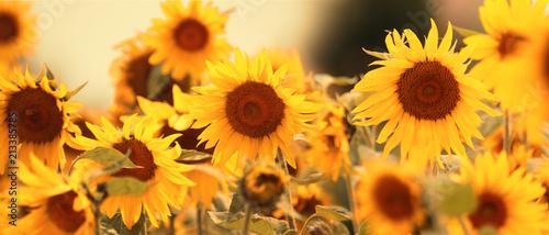 In de dag Zonnebloem Wunderschöne Sonnenblumen