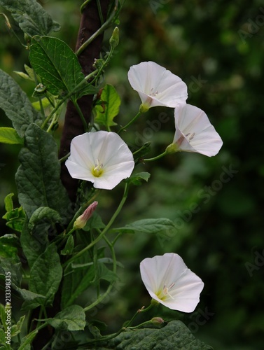 Fotografía white and pink flower of bindweed plant