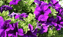 Beautiful Violet Petunia Flowers In Full Bloom.