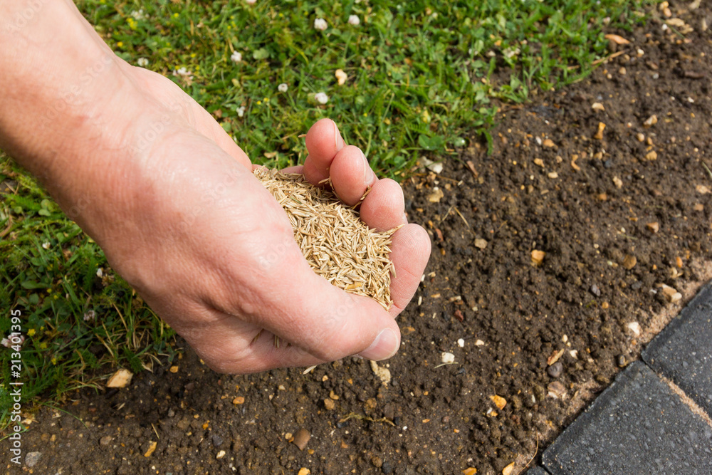 Fototapety, obrazy: Gardener with a hand full of lawn seed