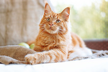 Sunny Portrait Of Cute Red Ginger Maine Coon Cat On The Balcony In Sunny Summer Day