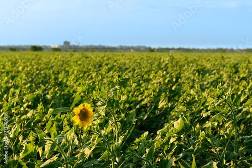 Tuinposter Weide, Moeras sunflower field summer landscape / bright summer day sunflowers absorb sunlight