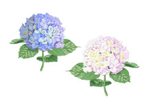 Vector Highly Detailed Realistic Illustration Of Two Hydrangea Flowers Isolated On White. Good For Wedding Floral Design, Greeting Cards.
