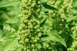canvas print picture - Grüne Quinoa Pflanze. Chenopodium Quinoa im Sommer.  Blühendes Quinoa.