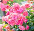 Flowering roses Queen of Sweden