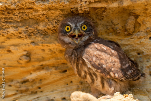 Poster Uil Little owl or Athene noctua on rock