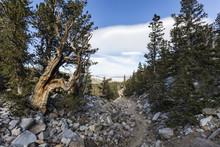 Bristlecone Pines Trail In Gre...