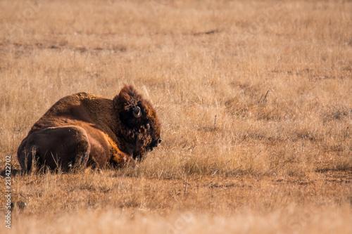 Staande foto Bison American Bison resting