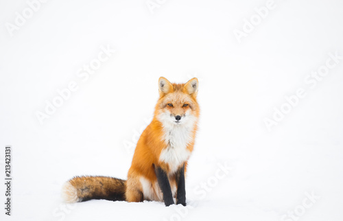 Photo  Red Fox, Canada
