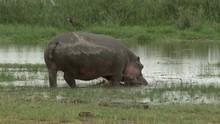 Hippo (Hippopotamus Amphibius) Grazing In Marsh Near Lake, Going Into The Water, Amboseli N.P., Kenya