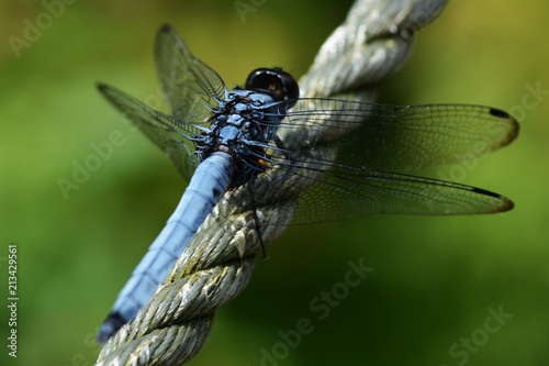 Dragonfly / Orthetrum triangulare melania / Male