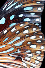 Close Up Of Colorful Butterfly Wing Background