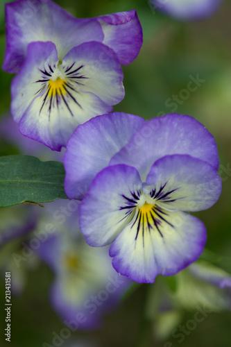 Keuken foto achterwand Pansies Purple & White Pansies Closeup