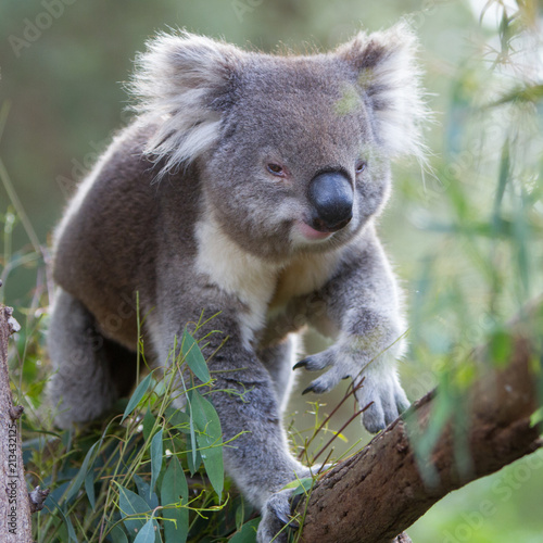 Keuken foto achterwand Koala Koala Walking Along a Tree Branch