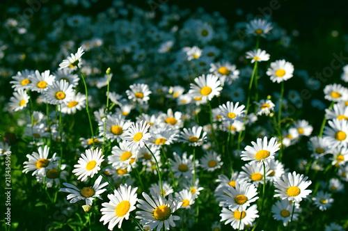 Foto op Canvas Madeliefjes Daisy bushes
