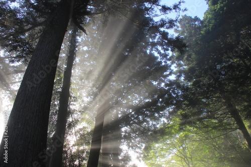 Poster Donkergrijs 森の風景/朝靄に朝の光が射す(愛媛県)