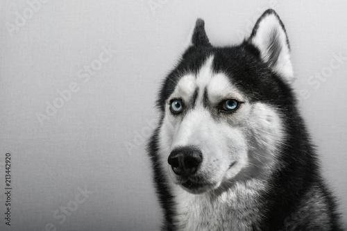 Fotografía  Siberian husky dog isolated on gray