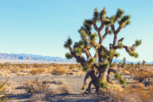 Big Joshua Tree   In The Mojave Deserte,  California, United States.