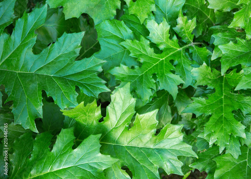 Fotografie, Obraz  Green background with  Acanthus  leaves.