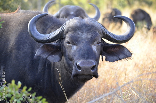 African buffalo cow Fototapeta
