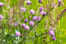 Pink Thistle Flowers In Green ...