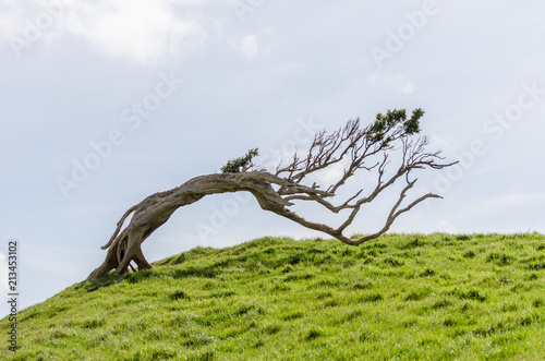 Fotografering Windswept tree permenantly bent by the prevailing winds on a grassy hilltop in the Chatham Islands, New Zealand