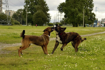Dogs play with each other. Merry fuss puppies. Aggressive dog. Training of dogs.  Puppies education, cynology, intensive training of young dogs. Young energetic dog on a walk.