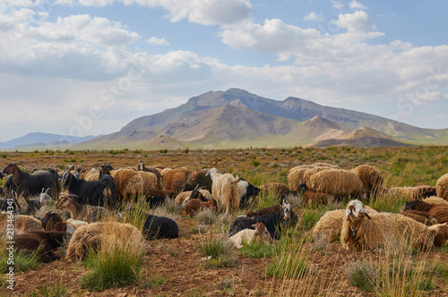 Foto op Canvas Bleke violet Livestock in Zagros mountains Iran
