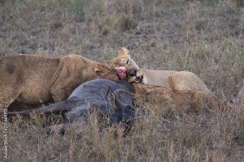 Zdjęcie XXL Lwy jedzą mięso martwej antylopy