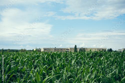 Spoed Foto op Canvas Platteland Field of young maize or corn plants