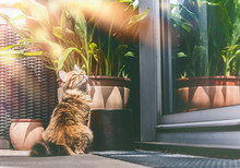 Young Fluffy Cat On Balcony At Window And Plants . Siberian Cat Lifestyle