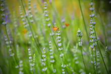 Orange Skipper Butterfly On Lavender, Lavandula Angustifolia