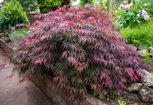 Red Foliage Of The Weeping Lac...