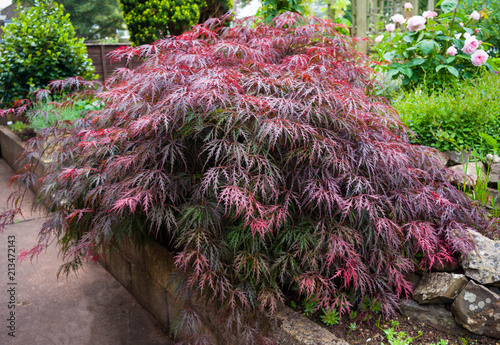 Red foliage of the weeping Laceleaf Japanese Maple tree (Acer palmatum) in garde Wallpaper Mural