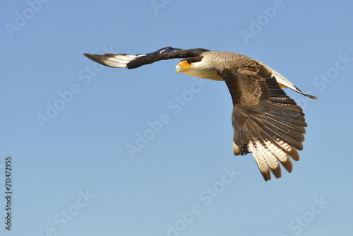 Southern Crested Caracara (Polyborus plancus) in flight viewed of profile