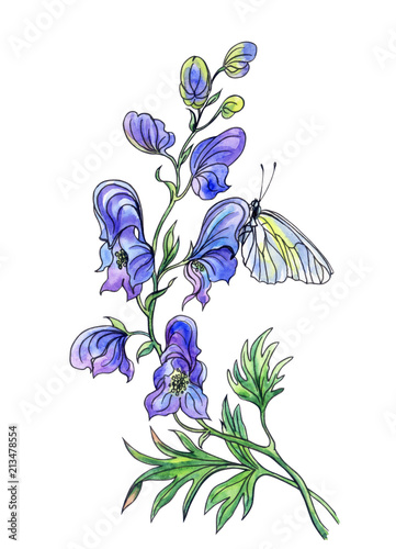Aconite flower and butterfly, watercolor drawing with a contour, isolated on a white background with clipping path Canvas Print