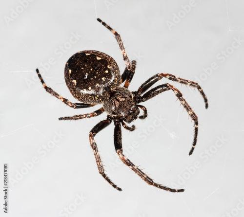 Plakat duży pająk araneus zbliżenie na szarym tle