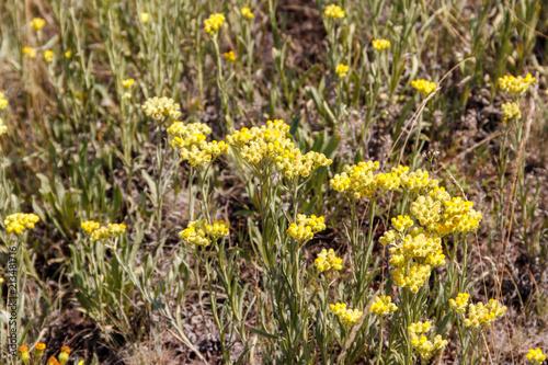 Foto op Canvas Klaprozen Helichrysum arenarium on meadow