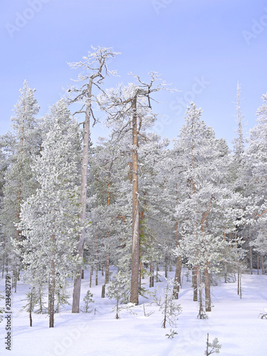 Foto op Aluminium Bomen Beautiful frosty snow covered pine trees in Finnish winter forest.