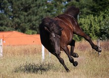 Funny Dark Iceland Horse Is Jumping On The Paddock