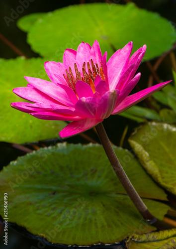 Poster Waterlelies Seerose Nymphaea Hybriden