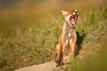 Little Red Fox Yawns Near His ...