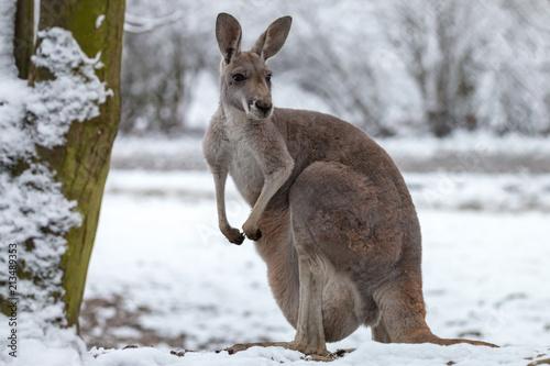 Spoed Fotobehang Kangoeroe Red kangaroo on snow. Macropus rufus is the largest of all kangaroos, the largest terrestrial mammal native to Australia, and the largest extant marsupial.