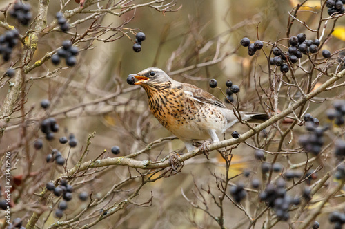 Obraz na plátně Fieldfare (Turdus pilaris) with black berry in his mouth