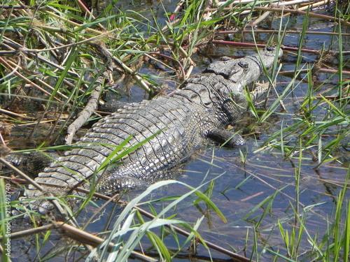 In de dag Krokodil Nile Crocodile