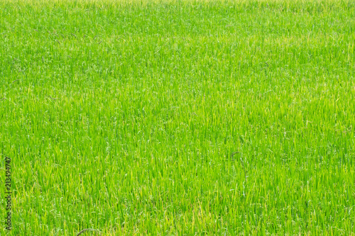 Cadres-photo bureau Herbe rice field. rice plants in paddy field